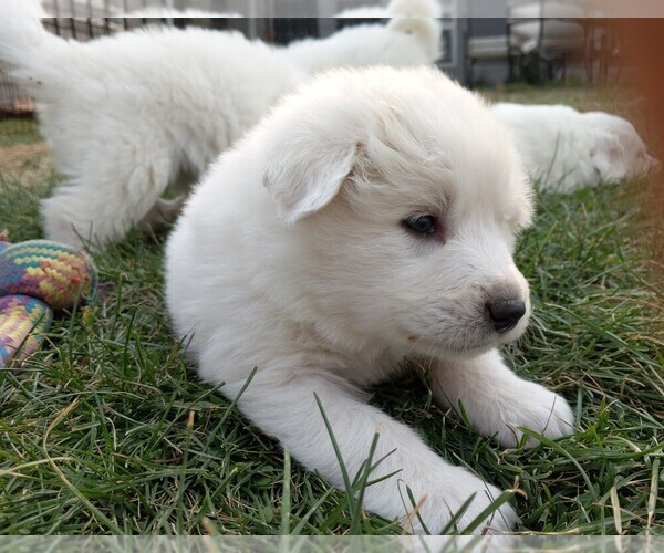 Medium Photo #109 Great Pyrenees Puppy For Sale in FALCON, CO, USA