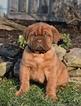 Dogue de Bordeaux male puppy