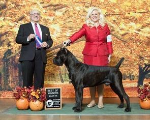 Cane Corso Puppy for sale in YAKIMA, WA, USA