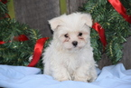 Maltese Puppy For Sale in FREDERICKSBURG, OH, USA