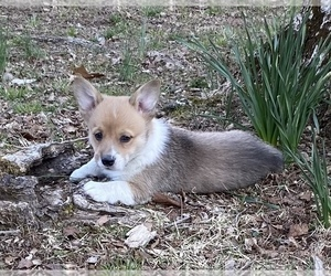 Pembroke Welsh Corgi Puppy for sale in ROLLA, MO, USA