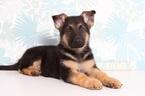 German Shepherd Dog Puppy For Sale in NAPLES, FL, USA