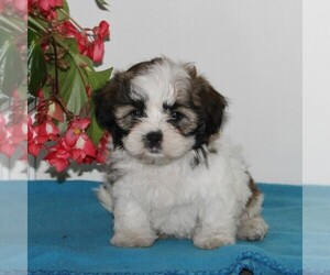 Zuchon Puppy for sale in QUARRYVILLE, PA, USA