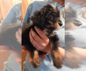 Wapoo Puppy for sale in SPRAGGS, PA, USA