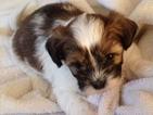 Puppy 6 Shih Tzu