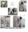 American Bulldog Puppy For Sale in BELVIDERE, TN, USA