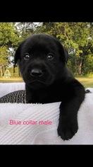 Labrador Retriever Puppy For Sale in CUSHING, OK, USA