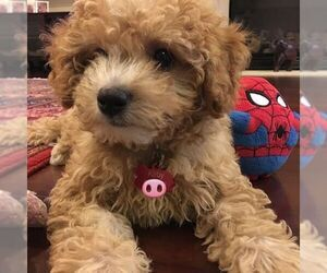 Poodle (Standard) Dogs for adoption in LOS ANGELES, CA, USA