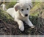 Small #5 German Shepherd Dog-Great Pyrenees Mix