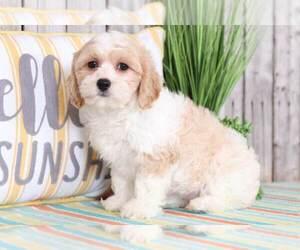 Cavachon Puppy for sale in MOUNT VERNON, OH, USA