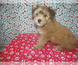 Yorkie-Poo Dog for Adoption in PATERSON, New Jersey USA