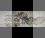Puppy 1 Presa Canario