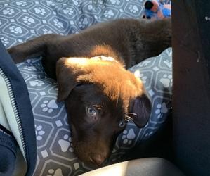 Labrador Retriever Puppy for sale in ACWORTH, GA, USA