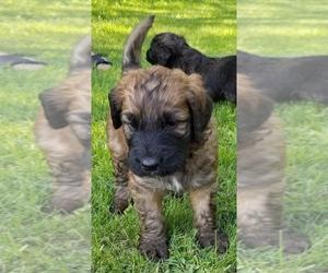 Saint Berdoodle Puppy for sale in EDEN VALLEY, MN, USA