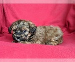 Small #1 Poodle (Miniature)-Shorkie Tzu Mix