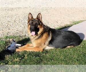 Father of the German Shepherd Dog puppies born on 05/30/2020
