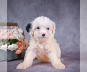 Australian Shepherd-Poodle (Miniature) Mix Puppy for sale in ITASCA, TX, USA