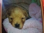 Golden Retriever-Poodle (Miniature) Mix Puppy For Sale in OREGON, IL, USA