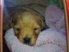 Golden Retriever-Poodle (Miniature) Mix Puppy For Sale in OREGON, IL, USA