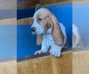Basset Hound Puppy for sale in TAMPA, FL, USA
