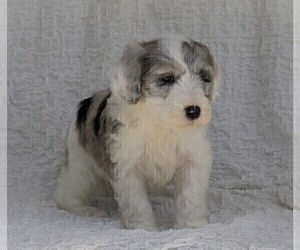 Old English Sheepdog-Poodle (Miniature) Mix Puppy for sale in FREDERICKSBG, OH, USA