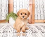 Small Cavapoo