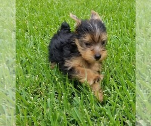 Yorkshire Terrier Puppy for Sale in HOUSTON, Texas USA