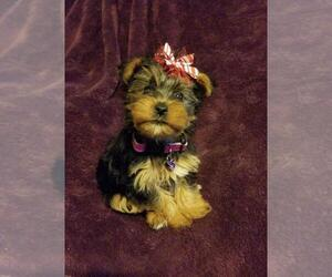 Yorkshire Terrier Puppies for Sale near Henderson, Kentucky, USA