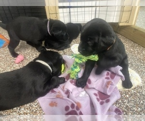 Labrador Retriever Puppy for sale in HARRISBURG, NC, USA