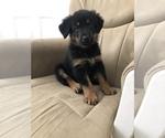 Small Beauceron-German Shepherd Dog Mix