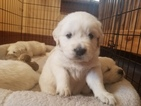 English Cream Golden Retriever  Puppy For Sale in QUINTER, KS, USA