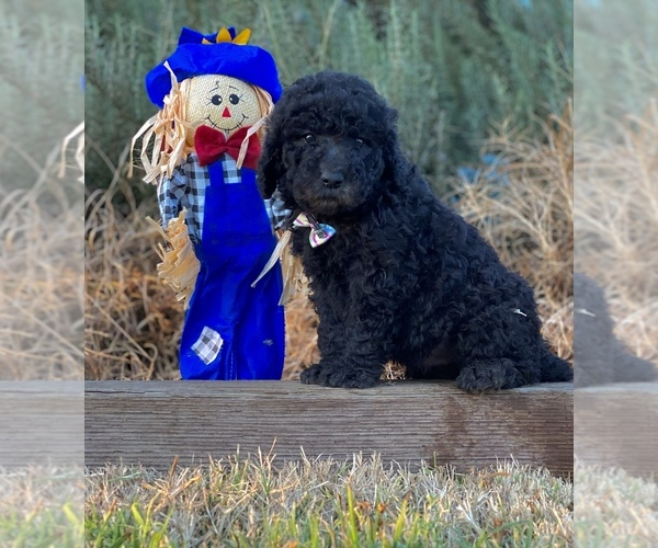 Medium Photo #3 Poodle (Standard) Puppy For Sale in HANFORD, CA, USA
