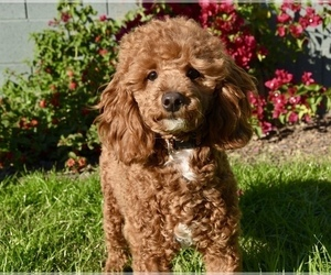 Mother of the Cavapoo puppies born on 01/09/2020