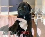 Puppy 7 Mastador