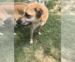 Small #93 Labrador Retriever
