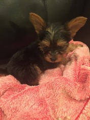 Yorkshire Terrier Puppy For Sale in AUBURN, AL