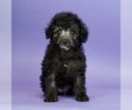 Puppy 14 Poodle (Toy)