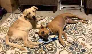 Golden Retriever Dog for Adoption in DALLAS, Texas USA