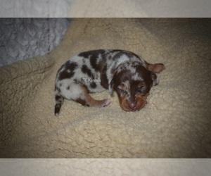 Dachshund Puppy for sale in GRAYSON, LA, USA