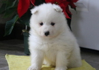 Samoyed Puppy For Sale in MOUNT JOY, PA, USA