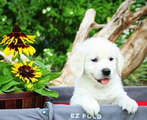 View Ad: Golden Retriever Litter of Puppies for Sale near