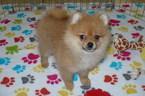 Pomeranian Puppy For Sale near 85742, Tucson, AZ, USA