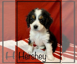 Miniature Bernedoodle Puppy for sale in STONE CREEK, OH, USA