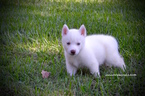 Siberian Husky Puppy For Sale in GRAYSON, LA,