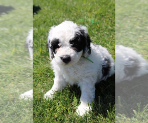 Bernedoodle-Shepadoodle Mix Puppy for Sale in LOUDON, Tennessee USA