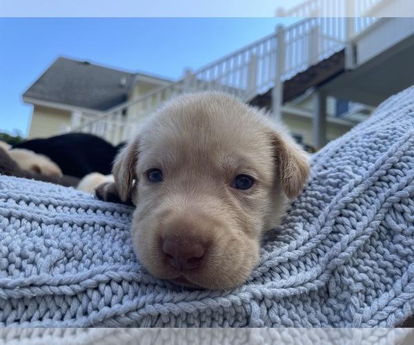 Medium Photo #4 Labrador Retriever Puppy For Sale in ARLINGTON, VA, USA