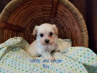 Havanese Puppy For Sale in JACKSON, MN