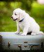 Golden Retriever Puppy For Sale in LA PORTE, TX