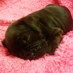 Olde English Bulldogge Puppy For Sale in YELM, WA