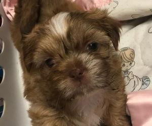 Shih Tzu Puppy for sale in JACKSONVILLE, FL, USA